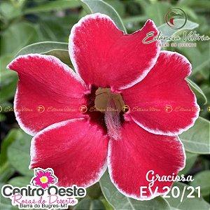 Rosa do Deserto Enxerto - EV-020 Graciosa