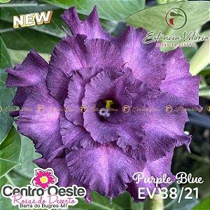 Rosa do Deserto Enxerto EV-038 Purple Blue