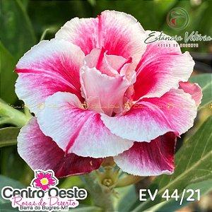 Rosa do Deserto Enxerto EV-044