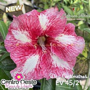 Rosa do Deserto Enxerto EV-045 Dez Centímetros