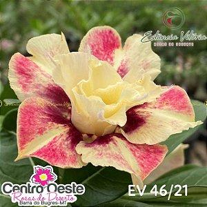 Rosa do Deserto Enxerto EV-046