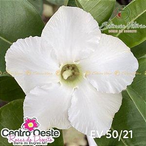 Rosa do Deserto Enxerto EV-050