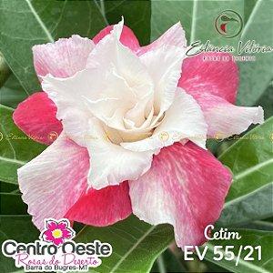Rosa do Deserto Enxerto EV-055 Cetim