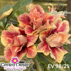 Rosa do Deserto Enxerto EV-098