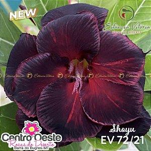 Rosa do Deserto Enxerto EV-072 Shoyu