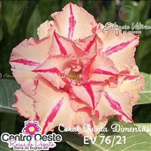 Rosa do Deserto Enxerto EV-076 Coral 5ª Dimensão