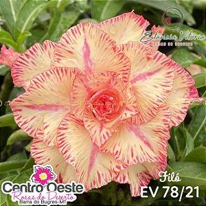 Rosa do Deserto Enxerto EV-078 Filó