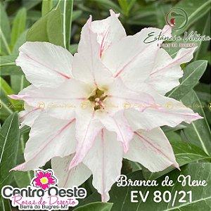 Rosa do Deserto Enxerto EV-080 Branca de Neve