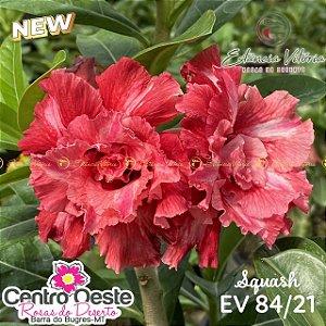 Rosa do Deserto Enxerto EV-084 Squash
