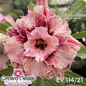 Rosa do Deserto Enxerto EV-114