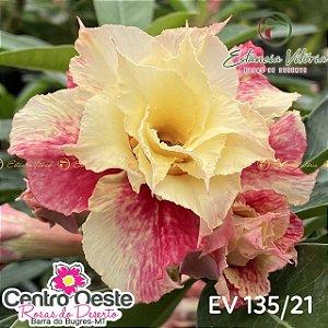 Rosa do Deserto Enxerto EV-135