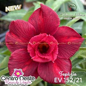 Rosa do Deserto Enxerto EV-152 Topázio