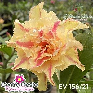 Rosa do Deserto Enxerto EV-156