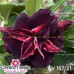 Rosa do Deserto Enxerto EV-157