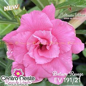 Rosa do Deserto Enxerto EV-191 Batom Rouge