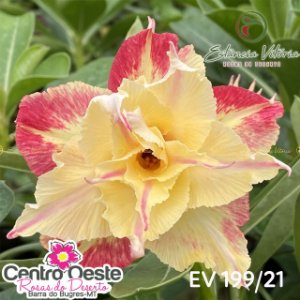 Rosa do Deserto Enxerto EV-199