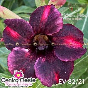 Rosa do Deserto Enxerto EV-082