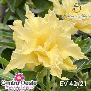 Rosa do Deserto Enxerto EV-042