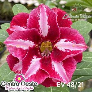 Rosa do Deserto Enxerto EV-048