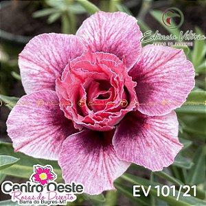 Rosa do Deserto Enxerto - EV-101