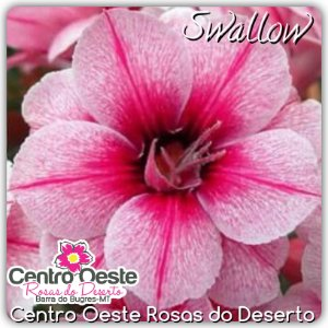 Rosa do Deserto Enxerto - Swallow