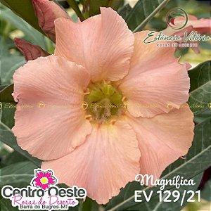 Rosa do Deserto Enxerto EV-129 Magnífica