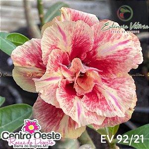Rosa do Deserto Enxerto EV-092