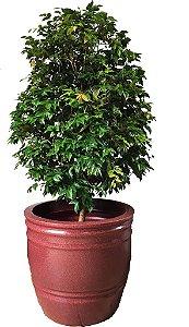 Mini Jabuticabeira em vaso Monte Carlo (Vermelho Granito)