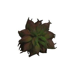 Flor Suculenta Haworthia Cymbiformis Queimada