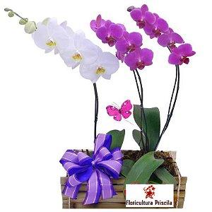 Orquídea Trio Ternura