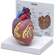 Modelo Anatômico do Coração Humano