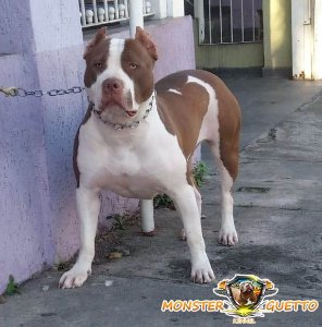 d150f146a6 Pit bull red nose filhote preço - Canil Monster Guetto SP ( Pit ...
