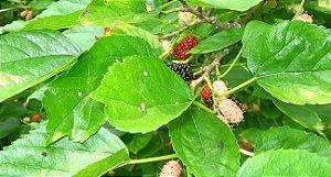 Folhas de Amoreira Alimento para Camarões Orgânico 15 Folhas