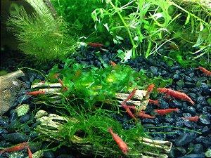 Cholla Cactus Camarão Ornamento Tronco 16cm x 3cm UN
