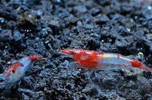 Neocaridina Red Rilli - Pacote com 5