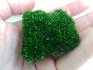 Musgo Star Moss - Start