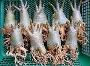 """Kit 5 Sementes de """"ARABICUM"""" Rosa do Deserto - Adenium Arabicum"""