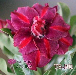 Rosa do deserto tripla TS-301 - 12 Meses