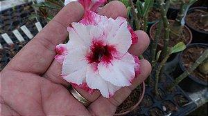Muda enxertada de rosa do deserto  TS-321 - 12 Meses