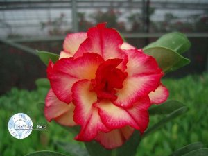 "Kit 5 Sementes de ""Mr. KO 11"" Rosa do Deserto - Adenium Obesum"