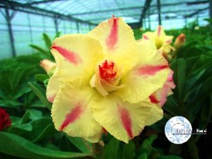 "Kit 5 Sementes de "" Mr. KO 01 "" Rosa do Deserto - Adenium Obesum"