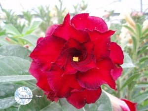 "Kit 5 Sementes de "" Mr. KO FENG WANG "" Rosa do Deserto - Adenium Obesum"