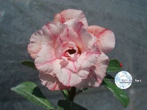"Kit 5 Sementes de "" Mr. KO 05 "" Rosa do Deserto - Adenium Obesum"