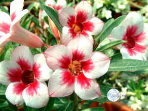 "Kit 5 Sementes de "" Mr. KO BRIGHT GEM "" Rosa do Deserto - Adenium Obesum"