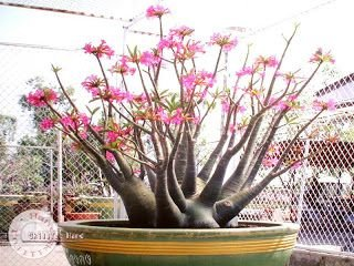 "Kit 5 Sementes de "" ARABICUM DESERT NIGHT FORK "" Rosa do Deserto - Adenium Arabicum"