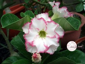 "Kit 5 Sementes de "" Mr. KO 08 "" Rosa do Deserto - Adenium Obesum"