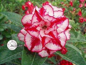 "Kit 5 Sementes de "" Mr. KO 24 "" Rosa do Deserto - Adenium Obesum"