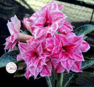"Kit 5 Sementes de "" Mr. KO 33 "" Rosa do Deserto - Adenium Obesum"