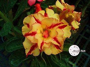 "Kit 5 Sementes de "" Mr. KO 37 "" Rosa do Deserto - Adenium Obesum"
