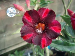 "Kit 5 Sementes de "" Mr. KO 42 "" Rosa do Deserto - Adenium Obesum"
